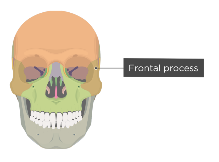 skull - anterior view - frontal process - divisions