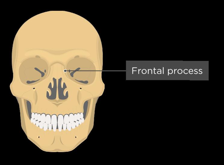skull - anterior view - frontal process maxilla