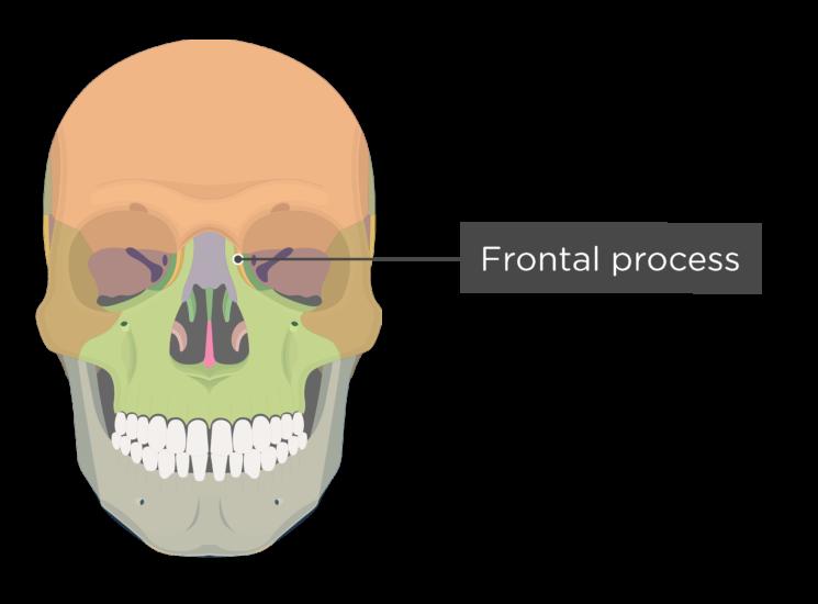 skull - anterior view - frontal process maxilla - divisions