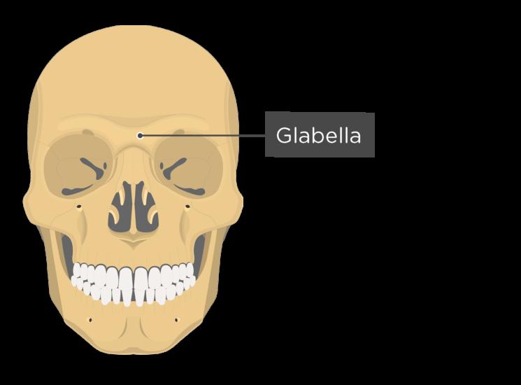 skull - anterior view - glabella