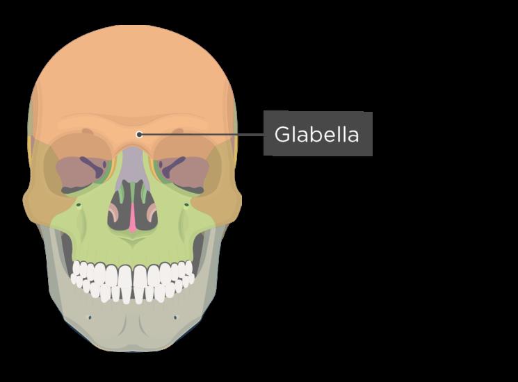skull - anterior view - glabella - divisions