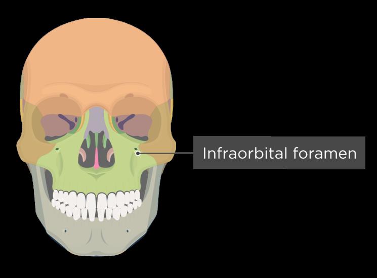 skull - anterior view - infraorbital foramen - divisions