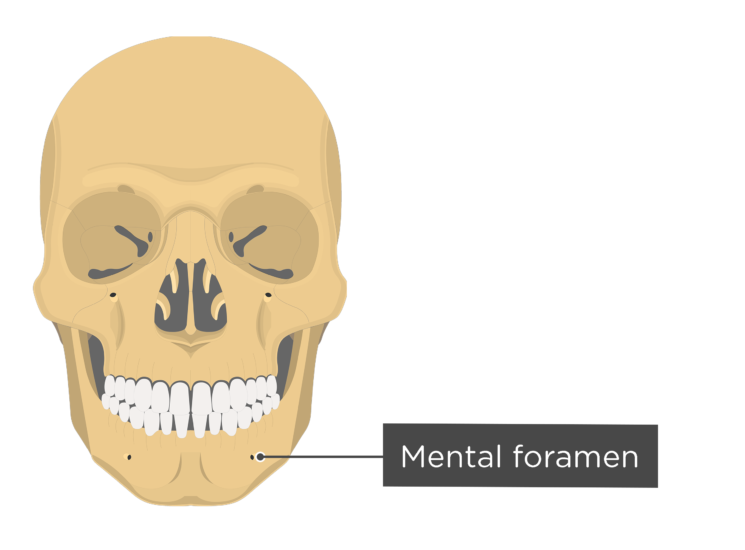 skull - anterior view - mental foramen