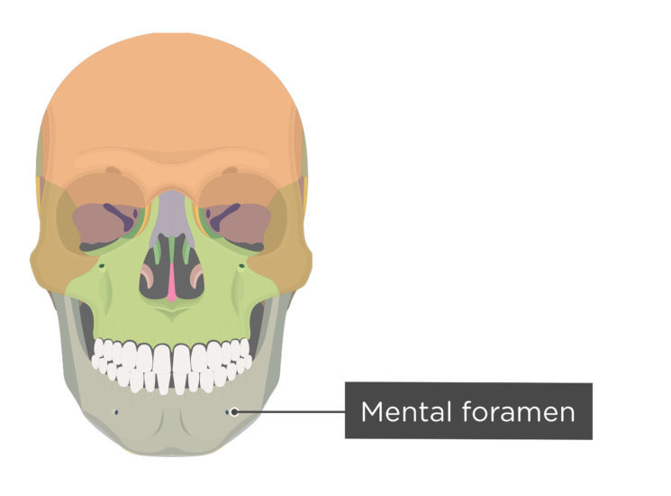 skull - anterior view - mental foramen - divisions