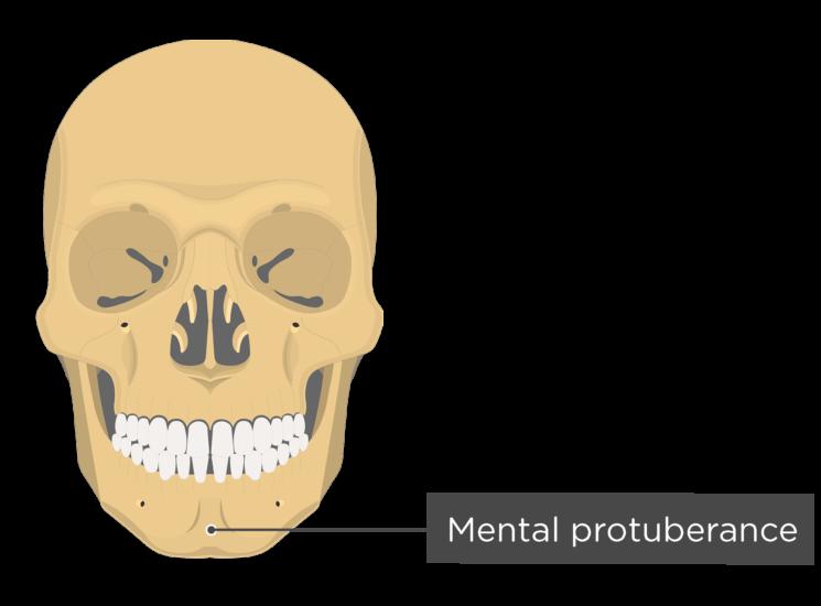 skull - anterior view - mental protuberance