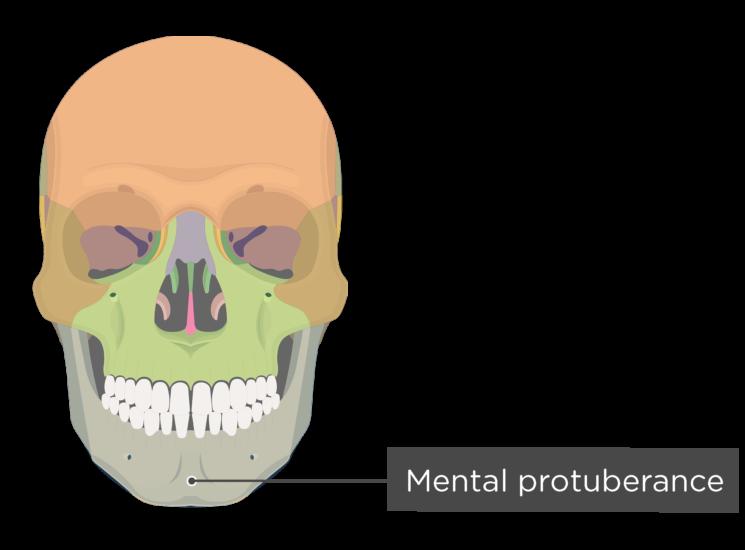 skull - anterior view - mental protuberance - divisions