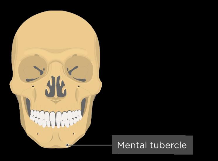 skull - anterior view - mental tubercle