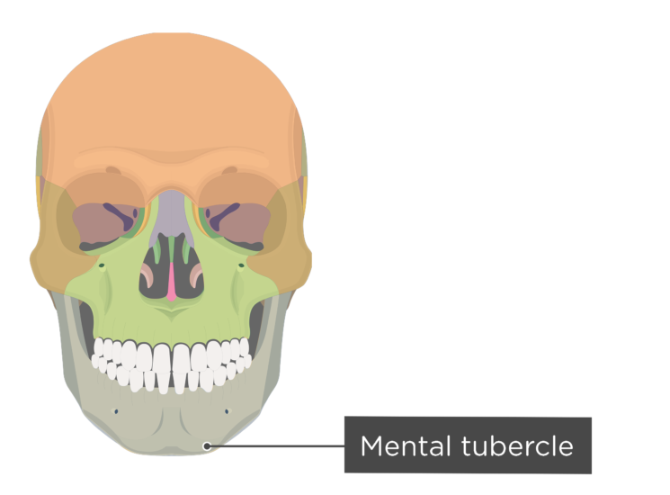 skull - anterior view - mental tubercle - divisions