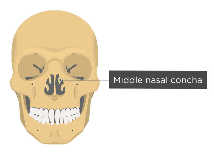 skull - anterior view - middle nasal concha