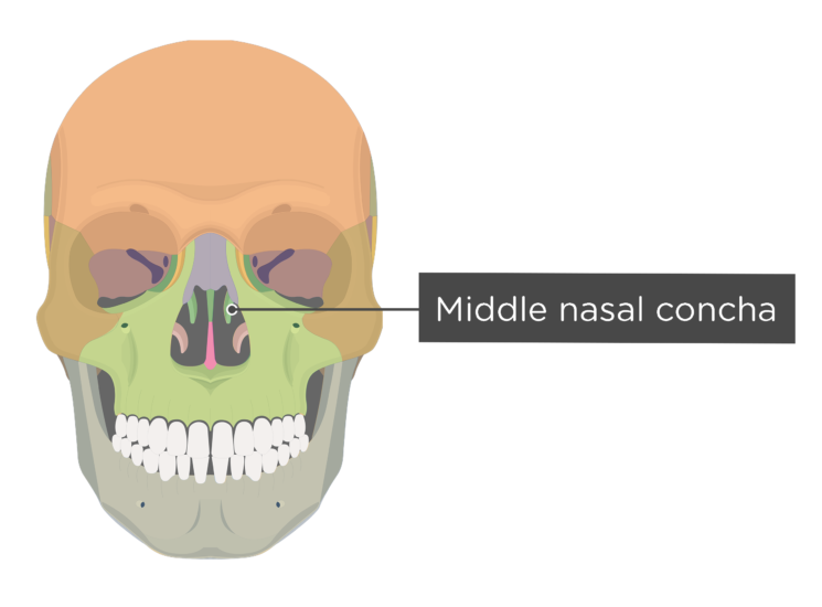 skull - anterior view - middle nasal concha - divisions