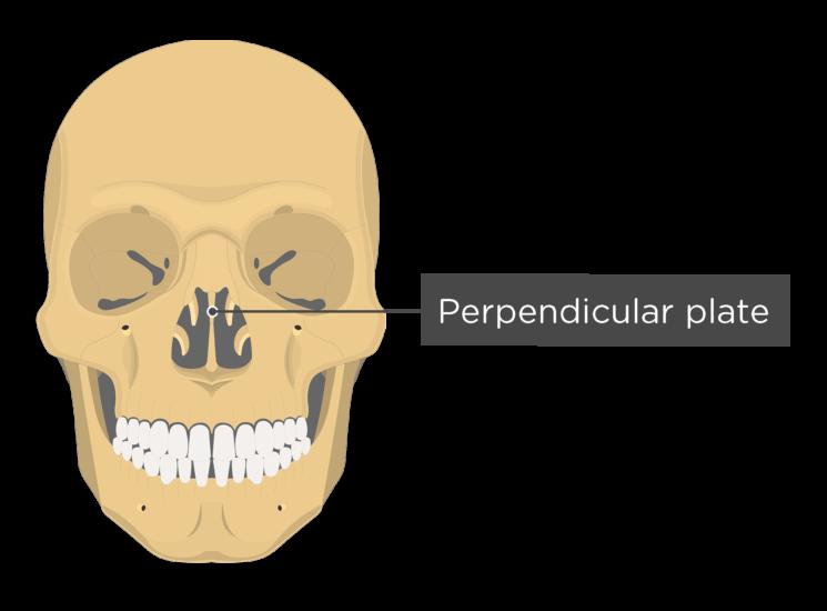 skull - anterior view - perpendicular plate