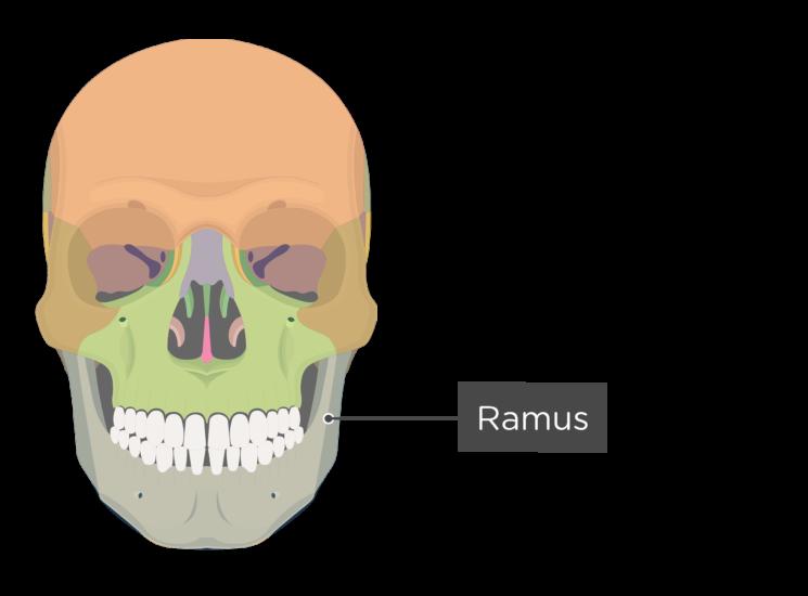 skull - anterior view - ramus - divisions