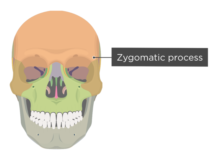 skull - anterior view - zygomatic process - divisions
