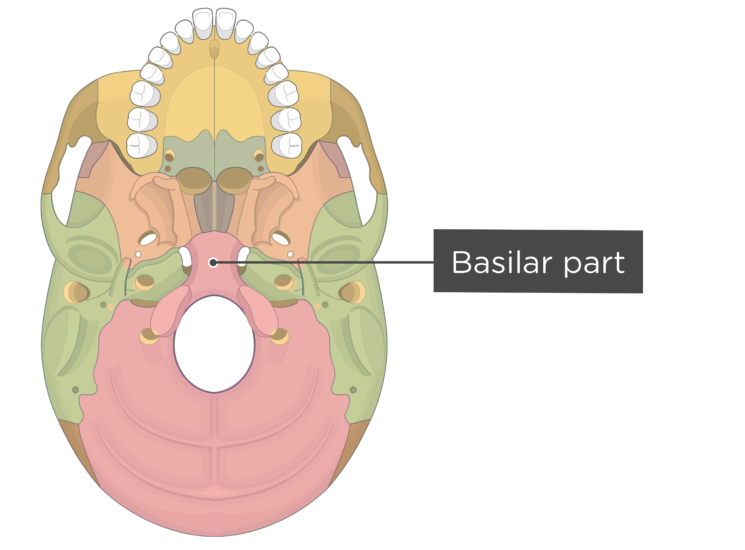 skull bone markings - inferior view - basilar part - divisions
