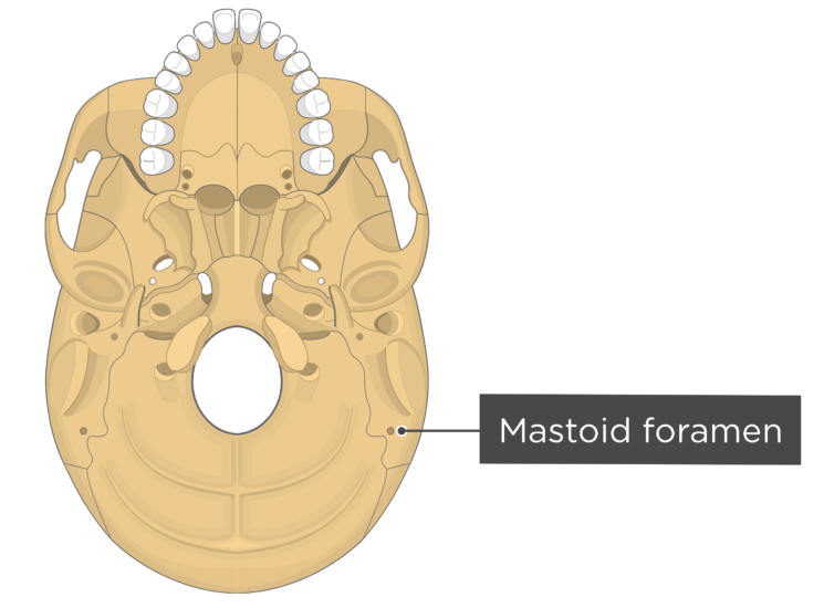 skull bone markings - inferior view - mastoid foramen