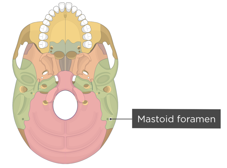 skull bone markings - inferior view - mastoid foramen - divisions