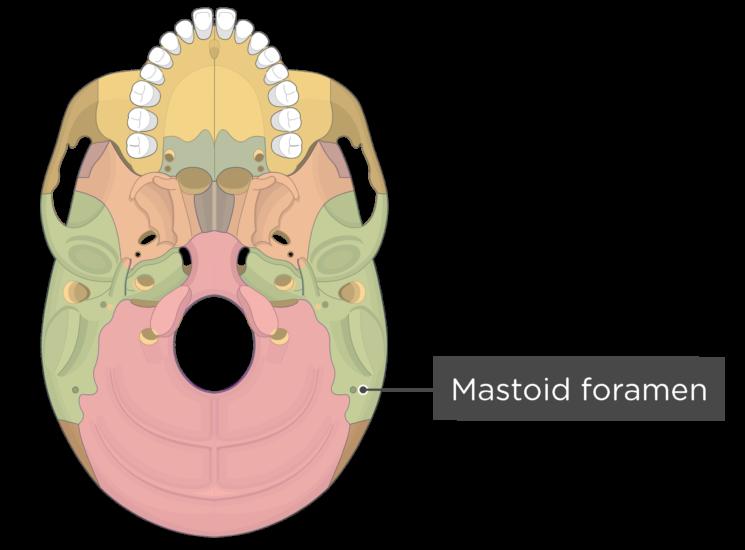 skull bone markings - inferior view - mastoid foramen - divisions
