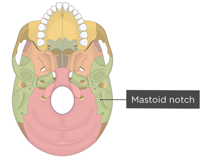 skull bone markings - inferior view - mastoid notch - divisions