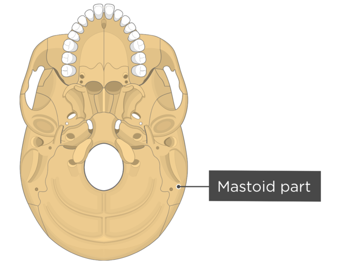 skull bone markings - inferior view - mastoid part