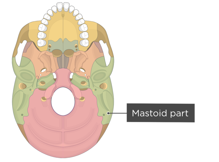skull bone markings - inferior view - mastoid part - divisions