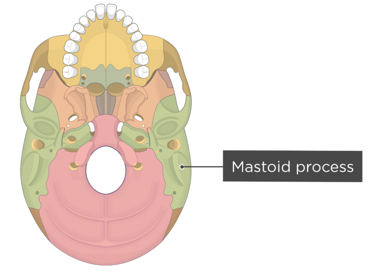 skull bone markings - inferior view - mastoid process - divisions