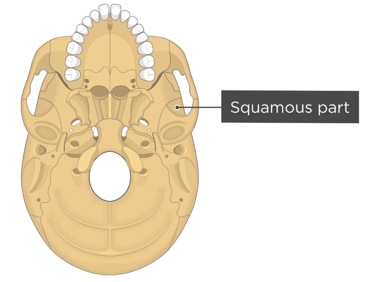 skull bone markings - inferior view - squamous part