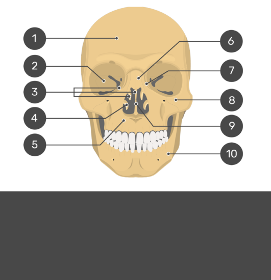 skull bones - anterior view - test yourself