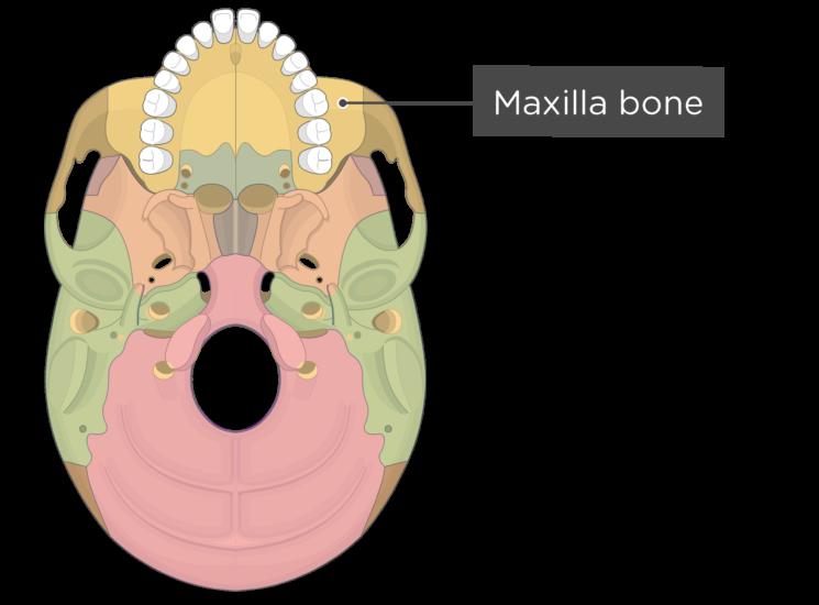 skull bones - inferior view - maxilla bone - divisions