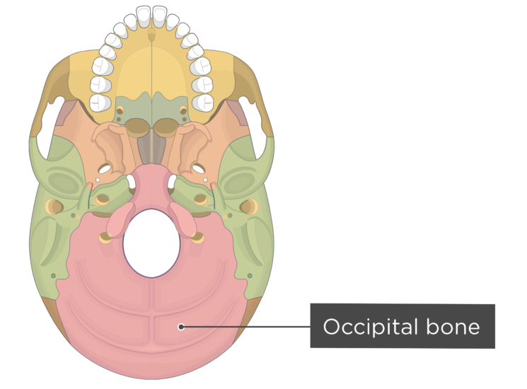 skull bones - inferior view - occipital bone - divisions