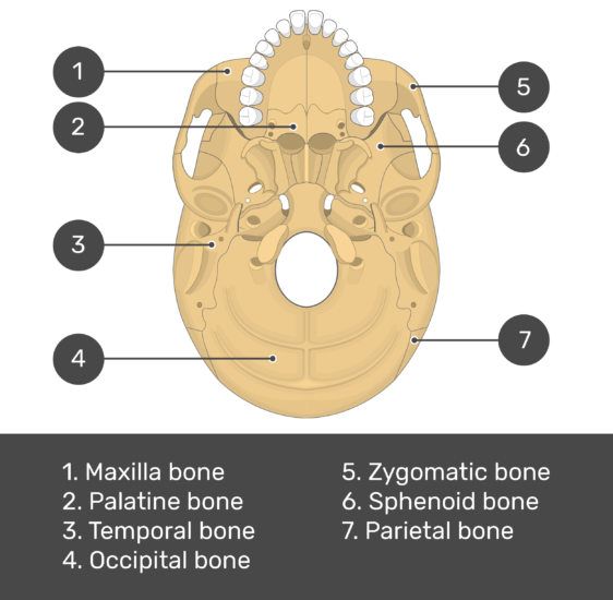skull bones - inferior view - test yourself - answers