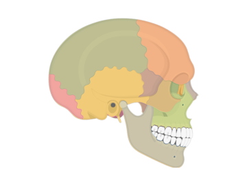 skull bones - lateral view - featured image