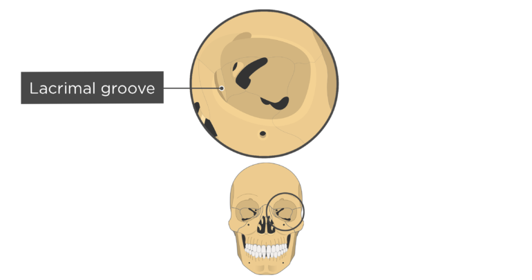 skull bones markings - orbital view - lacrimal groove