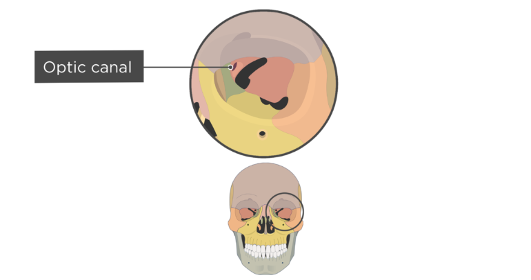 skull bones markings - orbital view - optic canal - divisions