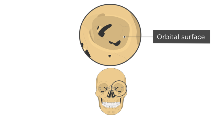 skull bones markings - orbital view - orbital surface