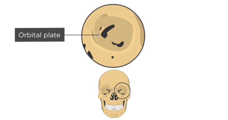 skull bones markings - orbital view - orbital surface - ethmoid bone