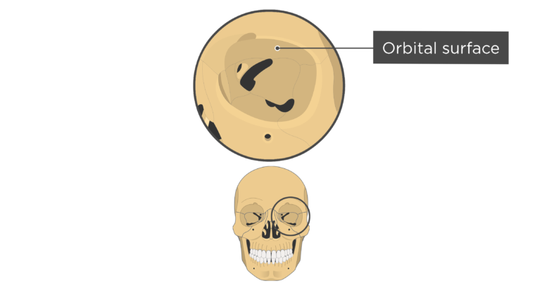 skull bones markings - orbital view - orbital surface - frontal bone