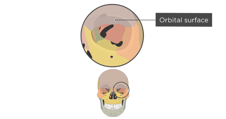 skull bones markings - orbital view - orbital surface - frontal bone - divisions