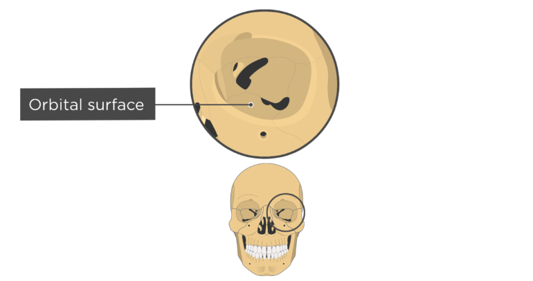 skull bones markings - orbital view - orbital surface - maxilla bone