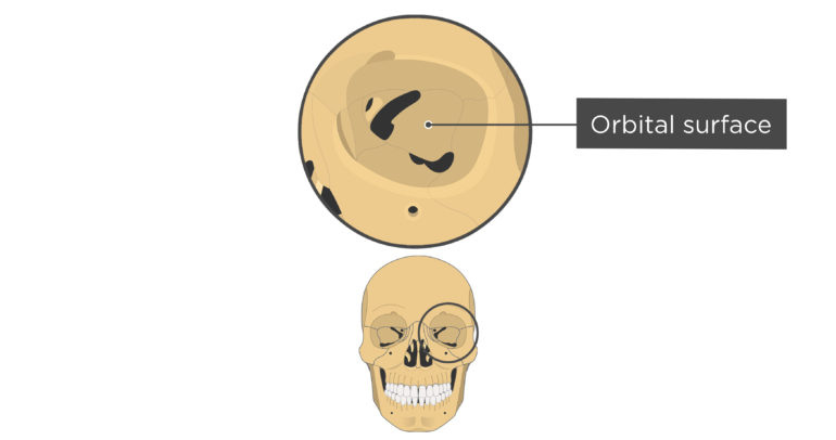 skull bones markings - orbital view - orbital surface - sphenoid bone