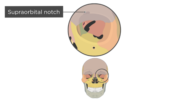 skull bones markings - orbital view - supraorbital notch - divisions