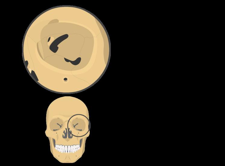 skull bones - orbital view