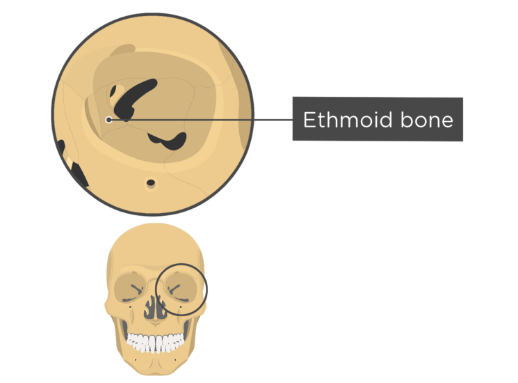 skull bones - orbital view - ethmoid bone