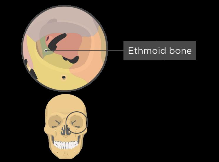 skull bones - orbital view - ethmoid bone - divisions