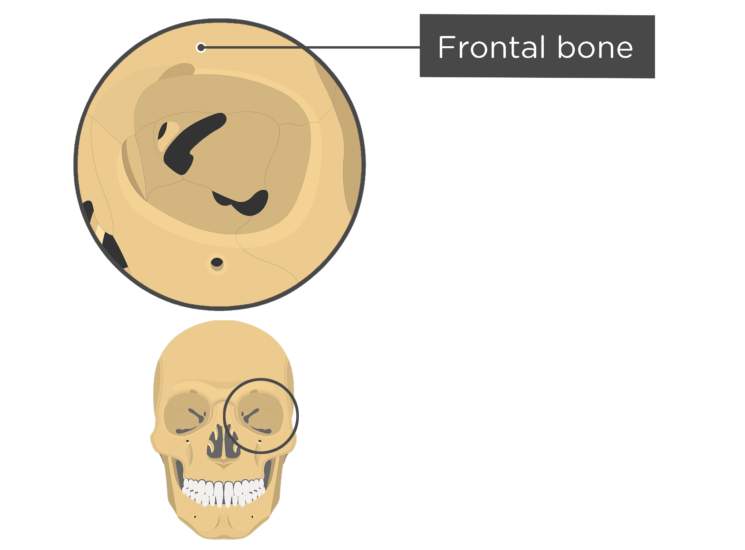 skull bones - orbital view - frontal bone