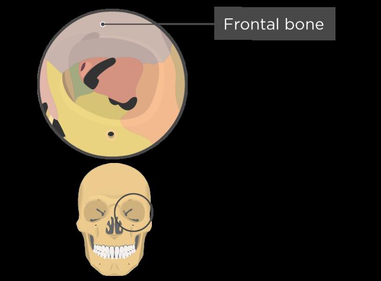 skull bones - orbital view - frontal bone - divisions