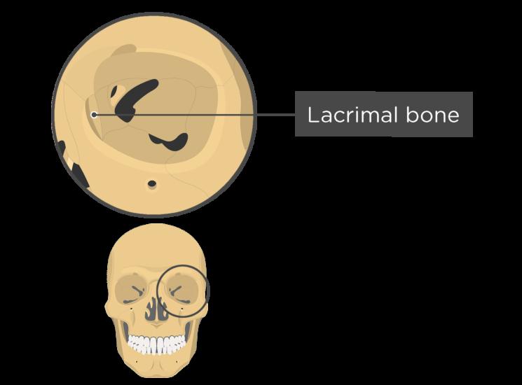 skull bones - orbital view - lacrimal bone