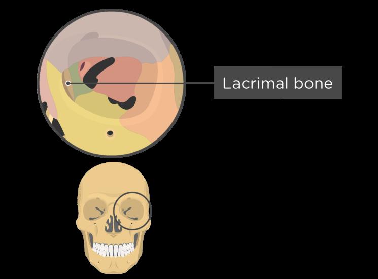 skull bones - orbital view - lacrimal bone - divisions