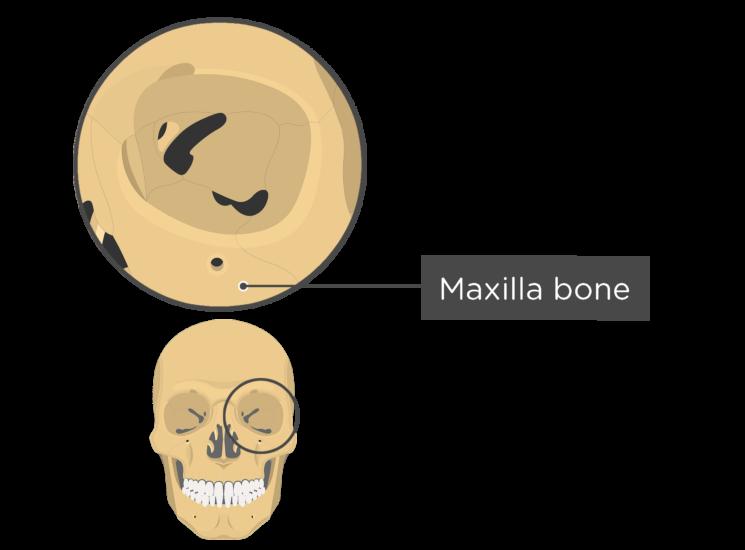 skull bones - orbital view - maxilla bone