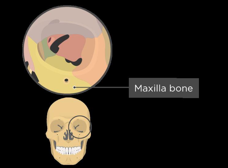 skull bones - orbital view - maxilla bone - divisions