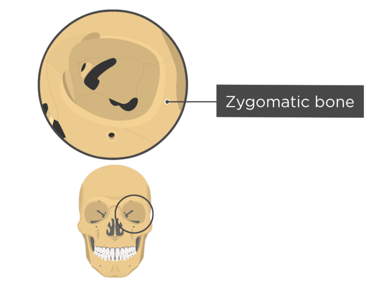 skull bones - orbital view - zygomatic bone